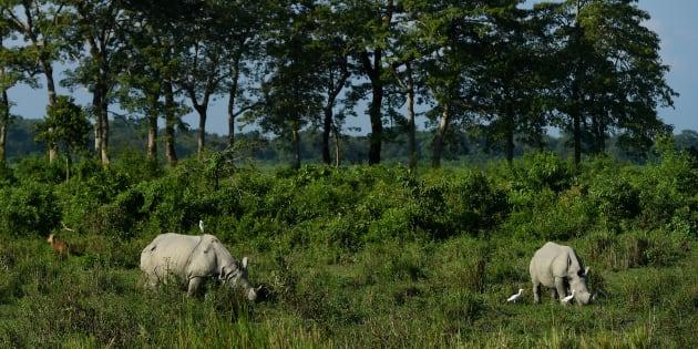 Rhinos at Assam's Kaziranga National Park in a file photo.