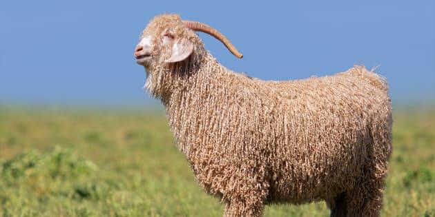 Imagen de archivo de una cabra de angora.