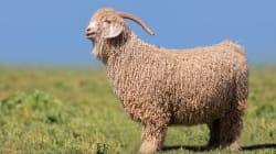 Por qué la lana mohair tiene los días contados en Zara y