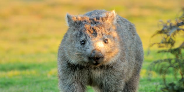 Well at least the wombats are happy.