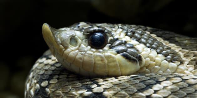 A western hog-nosed snake.