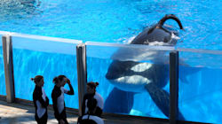 Tilikum, The 'Blackfish' SeaWorld Orca Who Killed A Trainer Has