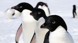 Scientists Miscalculate Antarctica's Penguin Population By