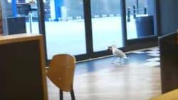 Esta paloma resultó ser una 'peligrosa' ladrona de guante