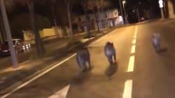 Des sangliers en cavale en pleine rue à