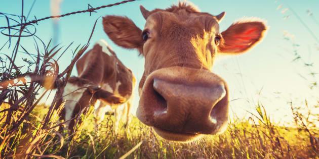 Francia, ha rapporti sessuali con una mucca, la polizia lo becca in flagrante e lo arresta