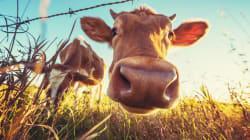 Ha rapporti sessuali con una mucca, la polizia lo becca in flagrante e lo