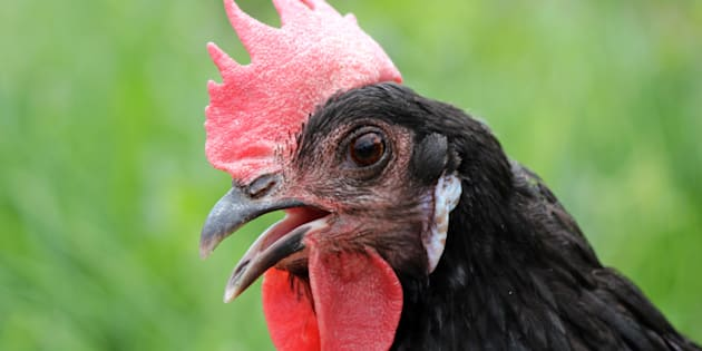 Si les oiseaux n'ont plus de dents, ce serait lié à leurs oeufs, selon des chercheurs