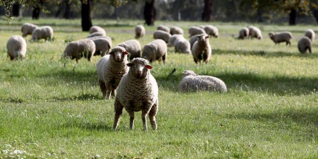 En Nouvelle-Zélande, on élève des moutons qui pètent et rotent moins (pour sauver la planète)