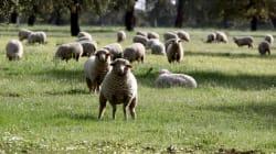 En Nouvelle-Zélande, on élève des moutons qui pètent et rotent
