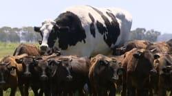 Cette vache géante fait un effet bœuf sur les réseaux