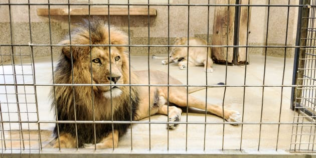 A lion in captivity.