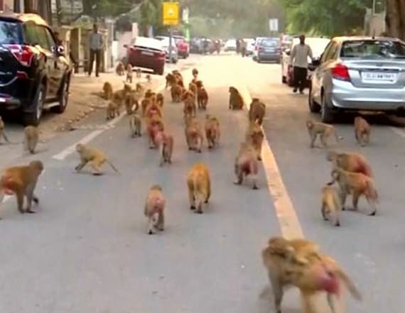 Video captures monkeys swarming government building