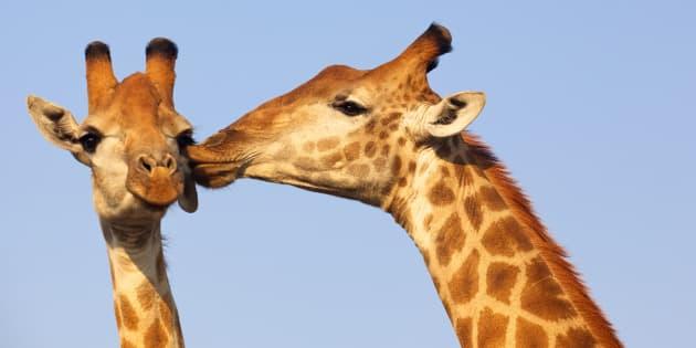 Una jirafa besando a otra en Kruger National Park, en Sudáfrica.