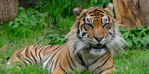 Por ahora, el gobierno chino mantendrá la prohibición de 25 años que impide el uso de partes de estos animales en peligro de extinción