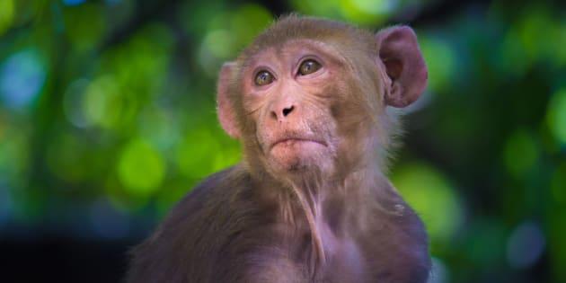 Photo d'un macaque rhésus.