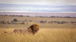 Why Did The Three Latest Escaped Lions Have To Be Shot? We Will Have To Wait For A