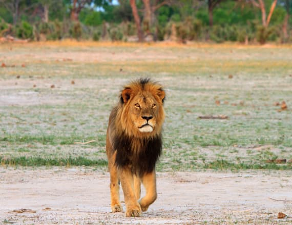 Cecil the Lion's son killed by hunter in Zimbabwe