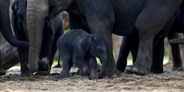Le gouvernement Trump veut autoriser l'importation des trophées d'éléphants tués en Afrique