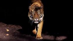 どう防ぐ?トラと人との衝突問題の報告書