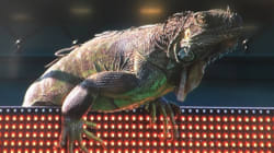 Hilarious Iguana Stops Play At Miami Open Tennis