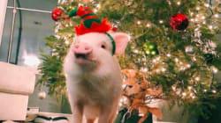 Un cochon voyageur gagne des admirateurs à travers le