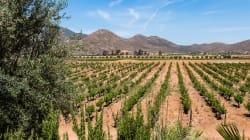 Un recorrido por los viñedos de Baja