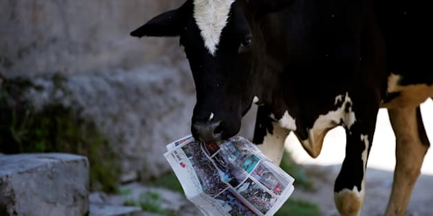 A cow holds a copy of a news paper on the outskirts of Srinagar, August 5, 2016. REUTERS/Danish Ismail