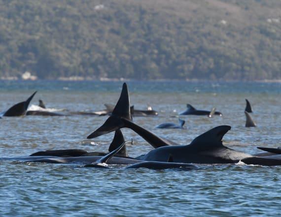 Hundreds of whales dead in Australia