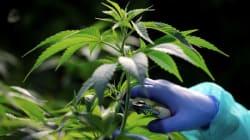 Gobierno de Israel aprueba la exportación de cannabis para uso