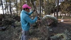 Peligrosa Navidad: 7 mil pinos con plagas fueron interceptados en