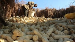 Can SA Really Achieve 12.5-Million Tons Of Maize This