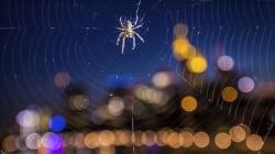 Les araignées des villes n'ont plus peur de la