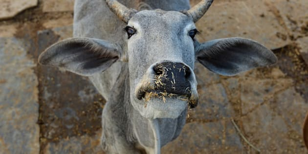 In this photograph taken on November 5, 2015, a cow looks on at a cow shelter owned by Babulal Jangir, a rustic self-styled leader of cow raiders, and Gau Raksha Dal (Cow Protection Squad) in Taranagar in the desert state of Rajasthan.
