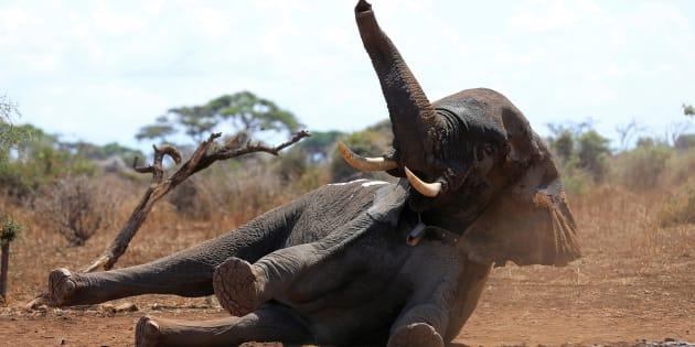 Les chasseurs d'éléphants américains pourront ramener leur trophées aux Etats-Unis