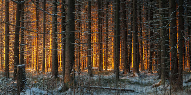 evening in the beautiful spruce winter forest