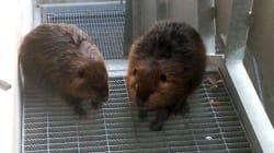 Des castors s'invitent à l'aéroport
