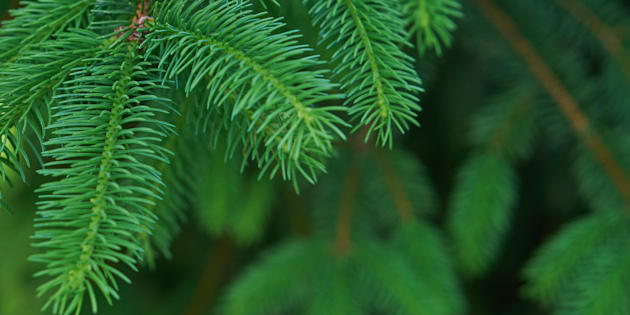 Noël: des huiles essentielles de sapin pour passer l'hiver sans rhume