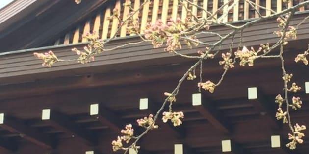 (写真はイメージ)2015年に撮影した靖国神社境内にあるソメイヨシノ