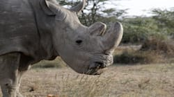Sudan, The World's Last Male Northern White Rhino, Dies Aged