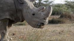 Sudán, el último rinoceronte macho blanco del norte, ha muerto a los 45