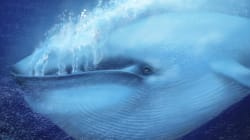 Blue Whales Are Now Bigger Than Ever And That Is Only A Recent Development In Its