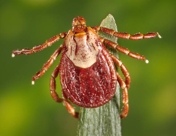 Tick fever threatens to spread to US from Mexico