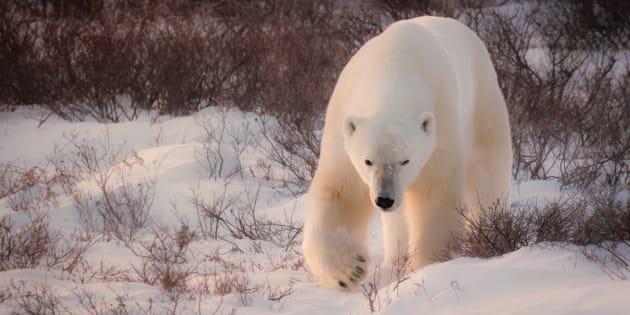 Large adult male polar bear walking in the tundra.