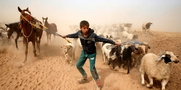 A displaced Iraqi boy leads his animals to safety after escaping from Islamic State controlled village of Abu Jarboa during clashes with IS militants near Mosul, Iraq November 1, 2016. REUTERS/Ahmed Jadallah
