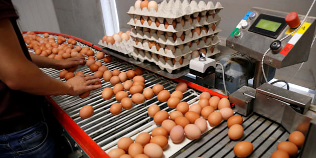 Les lots d'œufs contaminés au fipronil identifiés dans le Morbihan.