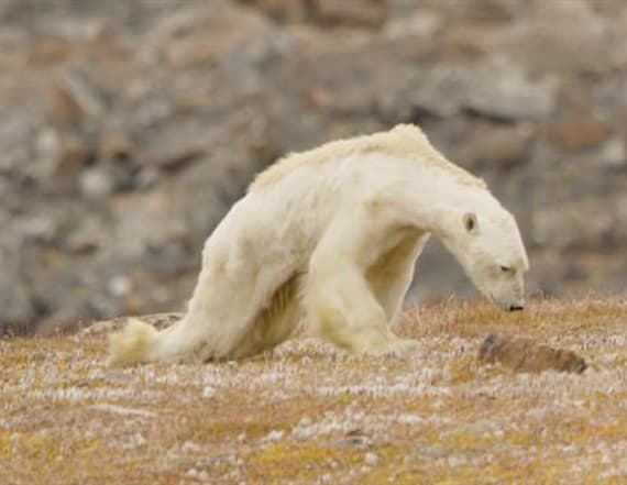 Video shows starving polar bear on ice-less land