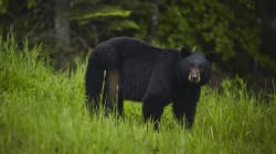 B.C. Bears Killed After Biting, Scratching 2 People In