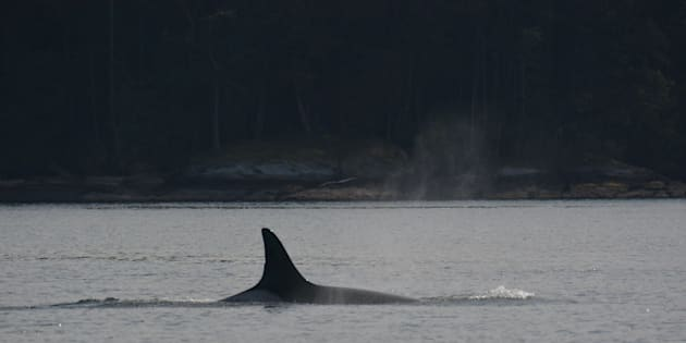 Granny was recognizable by a small nick onher dorsal fin.