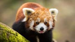 Un panda roux disparaît mystérieusement du Parc animalier